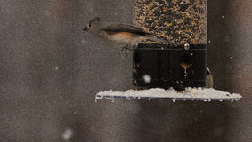 A Quick Fly-By: Tufted Titmouse Zooms Past a Feeder Royalty Free Stock Photos