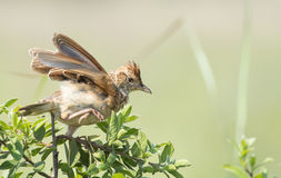 Quick getaway. A Rufous-naped Lark seeming to leap from a bush with wings spread Royalty Free Stock Image