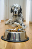 Quick! Make a wish!. Dog in front of his Birthday cake with candles almost burnt out Stock Photos