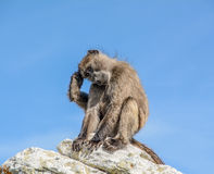 A quick scratch. A Chacma Baboon stops for a quick scratch on a rock Royalty Free Stock Photography