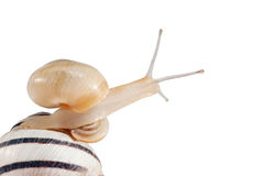 Quick snail Stock Image