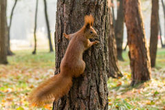 Quick Squirrel in the search for nuts. Close-up Stock Photos