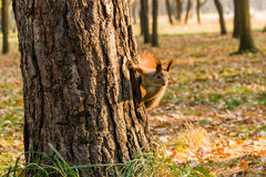 Quick Squirrel in the search for nuts. Close-up Royalty Free Stock Photos