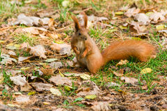 Quick Squirrel in the search for nuts. Close-up Royalty Free Stock Photo