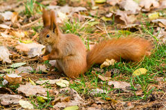 Quick Squirrel in the search for nuts. Close-up Stock Image