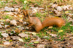 Quick Squirrel in the search for nuts. Close-up Stock Photo