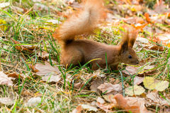 Quick Squirrel in the search for nuts. Close-up Stock Images