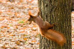 Quick Squirrel in the search for nuts. Close-up Royalty Free Stock Images