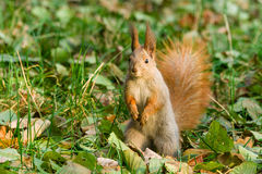 Quick Squirrel in the search for nuts. Close-up Royalty Free Stock Photography