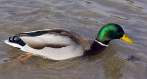 Quickly wild duck Stock Images