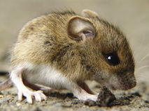 Quiet as a mouse. An angry little mouse an the road Stock Image