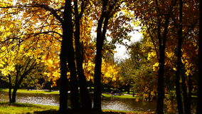 Quiet autumn afternoon in the park.Trees with golden leaves in October wind. stock footage