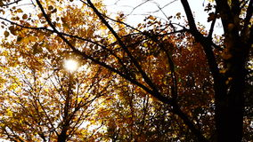 Quiet autumn afternoon in the park.Trees with golden leaves in October wind. stock video