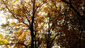 Quiet autumn afternoon in the park.Trees with golden leaves in October stock footage
