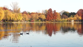 Quiet autumn afternoon in the parkTrees with golden and red leaves, ducks, gulls stock footage