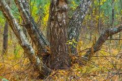 Quiet autumn birch forest Stock Image