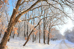 Paceful trees in winter background Royalty Free Stock Photography