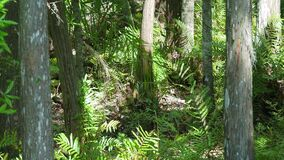 Quiet breezy day in a Florida forest stock footage