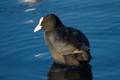 Quiet coot Royalty Free Stock Photo