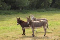 Quiet donkey Stock Photos