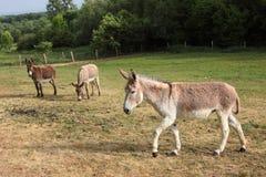 Quiet donkey Royalty Free Stock Photo