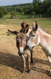 Quiet donkey in a field Royalty Free Stock Photos