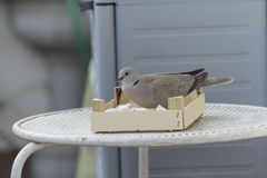 Quiet dove on iron desk Royalty Free Stock Photos