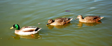 Quiet ducks swimming Stock Images