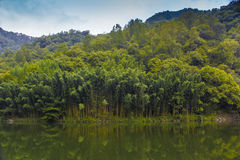 Quiet forest and lake. The still water of the lake and green lush bamboo forest Stock Photography