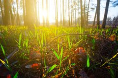Green grass in a forest at the sunset Royalty Free Stock Images