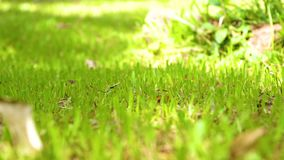 Quiet green lawn daytime with little butterflies swarm eat the minerals. stock footage