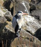Heron on a rock stock images