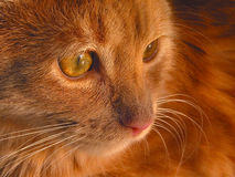 Quiet Kitten. Portrait of a yellow tabby kitten resting. Taken in natural afternoon sunlight Royalty Free Stock Photo