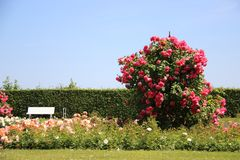 quiet Le rose fanno il giardinaggio con luce solare fotografie stock libere da diritti