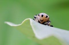 Bighorn cicada Stock Image