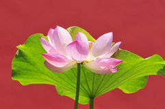 Quiet lotus with perfect pattern Stock Image