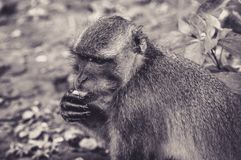 Quiet Macaque Tasting a Fruit. In Thailand Stock Photo
