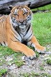 Quiet male tiger Royalty Free Stock Photos