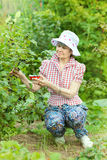 Quiet mature woman picks up berries of black currant Stock Photos