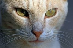 Cat whiskers eyes look pensive green nose shadow Stock Image