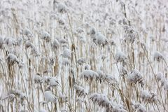 The quiet neutral background from a reed and snow Royalty Free Stock Photos