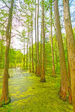 Quiet Pond in a Cypress Swamp Royalty Free Stock Image