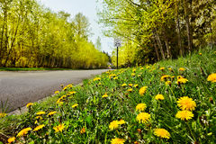 Quiet road. With Spring dandelions & new leaf buds Royalty Free Stock Photos