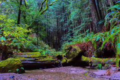 Quiet stream in Californian Redwood forest Royalty Free Stock Images