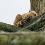 Quiet Time. A ring tailed coati relaxes up in the sky royalty free stock photos