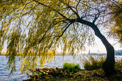 Willow on the Dniper River at morning Royalty Free Stock Images