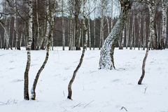 A quiet winter forest Royalty Free Stock Photo