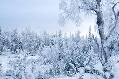 A quiet winter frozen forest. Alone frozen tree. Pastel colors stock photography