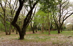Quiet woods. The quiet woods in the Japanese garden Royalty Free Stock Image