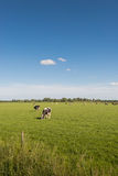 Quietly grazing cows on a sunny spring day Royalty Free Stock Photography